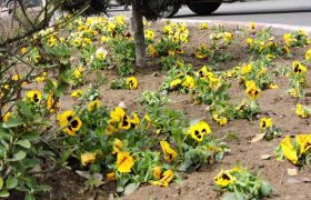 شهرداری ایلخچی در استقبال از نوروز۹۹/کاشت گل در میادین و معابر سطح شهر