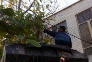 رفع خطر درختان خشک و آفت زده فضای سبز شهری