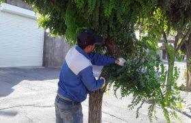 تداوم عملیات هرس و حذف شاخ و برگ های خشک درختان سطح شهر به منظور اصلاح و بهبود فضای سبز شهری، توسط واحد